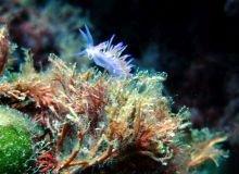 flabellina-nudibranch